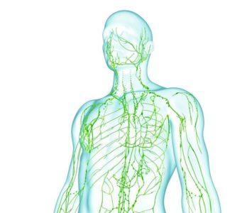 Le systeme lymphatique